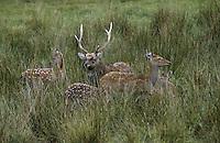Sika, Sika-Hirsch, Sikahirsch, Sikawild, Sika-Wild, Cervus nippon, sika deer