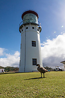 The lighthouse at Kilauea Point National Wildlife Refuge, with Hawaiian Nene goose in foreground, northern Kaua'i.