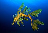 Leafy Sea Dragon, Phycodurus eques, esperance, Western Australia