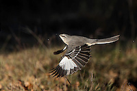 Northern Mockingbird just after an early morning drink..