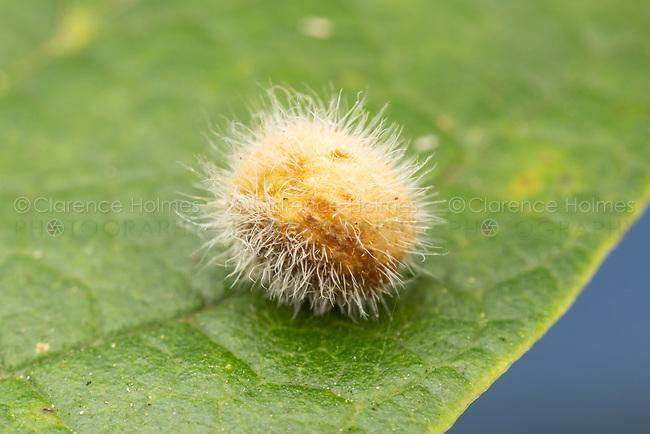 Hackberry Pubescent Gall Midge (Celticecis pubescens)