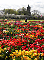 Nederland Limmen 2018.  In Noord-Holland ligt de Hortus Bulborum. In de tuin staan meer dan 4000 soorten bloemen. De hortus, waarin voornamelijk tulpen en narcissen staan, is in 1928 opgericht. De Hortus Bulborum is een proeftuin, waar nieuwe soorten worden gekweekt.  Op de achtergrond de Protestantse (Hervormde) kerk van Limmen. Foto Berlinda van Dam / Hollandse Hoogte