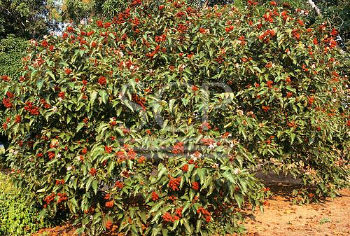 "Altamira, Brazil. Medicinal plant ""Urucum"" growing in the Farmacia Verde (Green Pharmacy) garden."