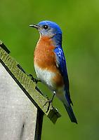 Adult male eastern bluebird on nest box