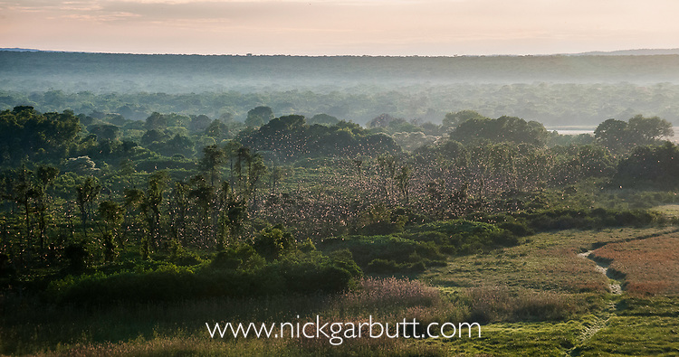 Aerial view just after sunrise of millions of Straw-coloured fruit bats (Eidolon helvum) circling over the 'Mushitu' (ever-green swamp forest) where they roost during the day. Kasanka National Park, Zambia.