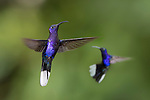 Male Violet Sabrewing (Campylopterus hemileucurus) hovering / in flight. Montane forest, Bosque de Paz, Caribbean slope, Costa Rica, Central America.