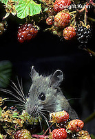 MU50-130z  Deer Mouse - young adult eating blackberries - Peromyscus maniculatus