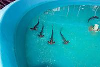 Scalloped hammerhead shark pups, Sphyrna lewini, kept for research, Hawaii Institute of Marine Biology, Kaneohe, Oahu Hawaii