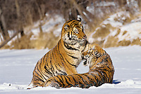 Siberian Tigers (Panthera tigris)