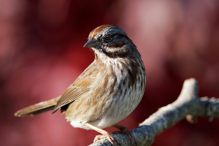 Song Sparrow (Melospiza melodia) perched on branch, autumn colors in background, Snohomish, Washington, USA