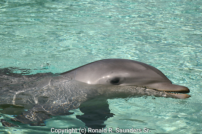 Dolphins are cetacean mammals closely related to whales and porpoises. There are almost forty species of dolphin in 17 genera. They vary in size from 1.2 m and 40 kg, up to 9.5 m and 10 tonnes. They are found worldwide, mostly in the shallower seas of the continental shelves and are carnivores, eating mostly fish and squid.