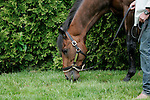 Preakness contender Astrology grazes after a gallop on Thursday morning, May 19, 2011, at Pimlico Race Course in Baltimore, MD. (Joan Fairman Kanes/EclipseSportswire)