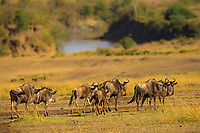 Wildebeest herd in the Masai Mara park yellow savanna, on the bank of the Mara River during the great migration between Kenya and Tanzania, in Africa