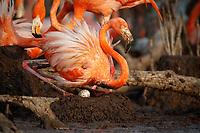 American Flamingo (Phoenicopterus ruber) sitting on nest to incubate. Yucatan, Mexico.