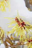 Hamamelis Pallida witchhazel in yellow fragrant flower in winter snow and ice