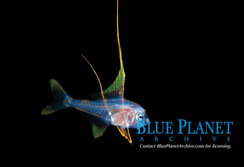 Alfonsino, Beryx species, making an appearance in 50 feet during a Black Water drift dive in waters 600 feet deep, Palm Beach, Florida, U.S.A.   Atlantic Ocean