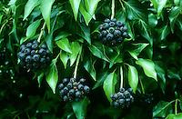 Gewöhnlicher Efeu, Früchte, Hedera helix, Common Ivy