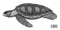 Loggerhead turtle, Caretta caretta, lateral view, pen and ink illustration.