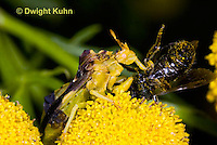 AM06-500z  Ambush Bug feeding on insect, tansey flowers, Phymata americana