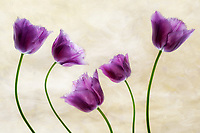 Close up of Purple Tulips.