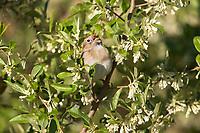Field Sparrow (Spizella pusilla pusilla), male singing on its breeding territory in Assunpink Wildlife Management Area, Allentown, New Jersey.
