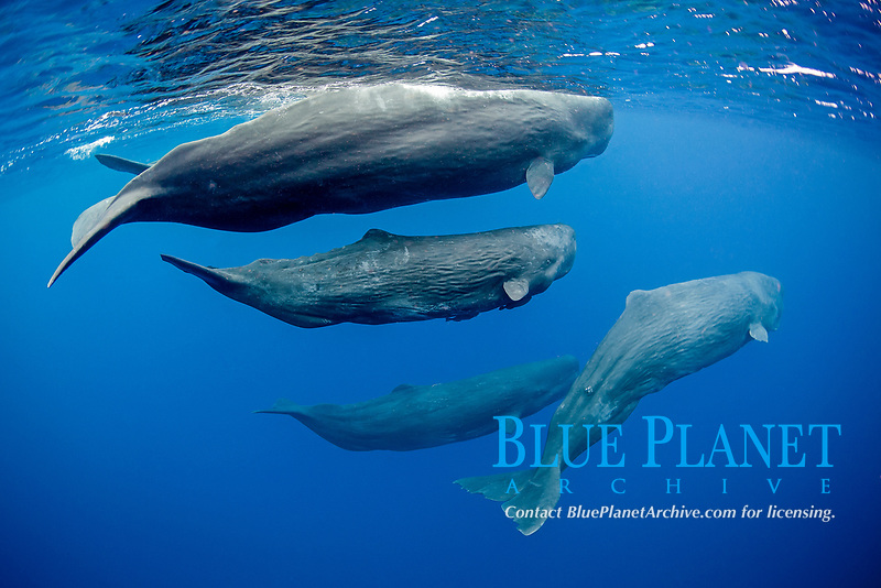 sperm whale, or cachalot, Physeter macrocephalus, pod with mother and calf, Dominica, Caribbean Sea, Atlantic Ocean, permit # RP 13/365 W-03