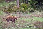 Yellowstone National Park, WY: Cinnamon bear (Ursus americanus cinnamomum) in an open meadow