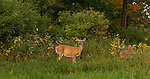 White-tailed doe and fawns in an autumn field.