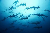 Scalloped hammerheads, Sphyrna lewini, Darwin Island, Galapagos Islands, Ecuador, East Pacific Ocean