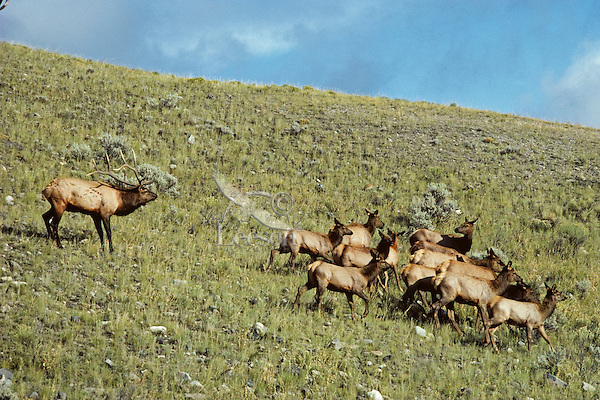Rocky Mountain Elk herd (Cervus elaphus).  Rocky Mountain area.  Fall.  Bull is herding cows and calves during fall rut.