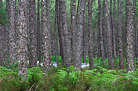 Hives tucked away deep in the Landes forest. The Landes transhumance in well-known for heather.