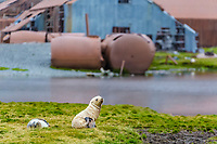 Antarctic fur seal, Arctocephalus gazella, aka Kerguelen fur seal, rare, leucistic pup, playing along with normally dark-colored pup, Stromness Harbor, South Georgia, Atlantic Ocean