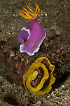 Nudibranch laying eggs (Chromodoris Bullocki) with 2 aeolid nudibranchs feeding on the eggs