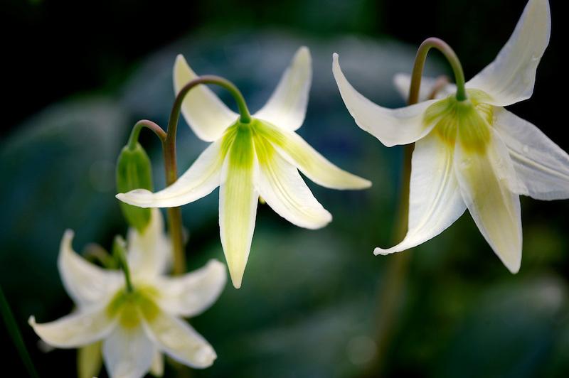 Avalanche lilies. Near Bellfountain. Oregon