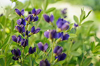 Baptisia 'Smokey Night'