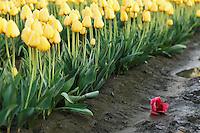 A single red tulip fallen amongst a row of yellow tulips, Mount Vernon, Skagit Valley, Skagit County, Washington, USA