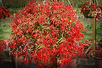 Begonia boliviensis 'Bonfire' in hanging pot container basket aka Nzcone