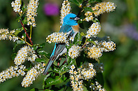 Male Lazuli Bunting (Passerina amoena) in blossoming choke cherry bush.  Western U.S., summer.