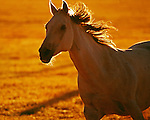 One white horse running in early morning light on ranch in Central Oregon