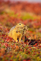 Arctic Ground Squirrel with nesting material.  Fall.
