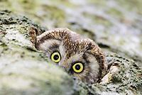 Tengmalm's Owl (Aegolius funereus)