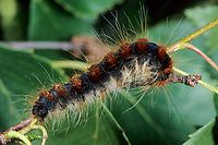 Wollafter, Frühlings-Wollafter, Birkennestspinner, Raupe, Raupen, Eriogaster lanestris, Bombyx lanestris, Small Eggar, caterpillar, caterpillars, bombyx laineux, laineuse du cerisier