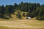 Barn with hale bales in pasture, oak and Douglas-fir trees on hills; Lorane Valley, Oregon.