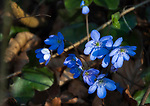 Deutschland, Bayern, Chiemgau: Blaue Waldanemone (Anemone nemorosa) oder Buschwindroeschen | Germany, Upper Bavaria, Chiemgau: Anemone nemorosa, an early-spring flowering plant, also named wood anemone, windflower or thimbleweed