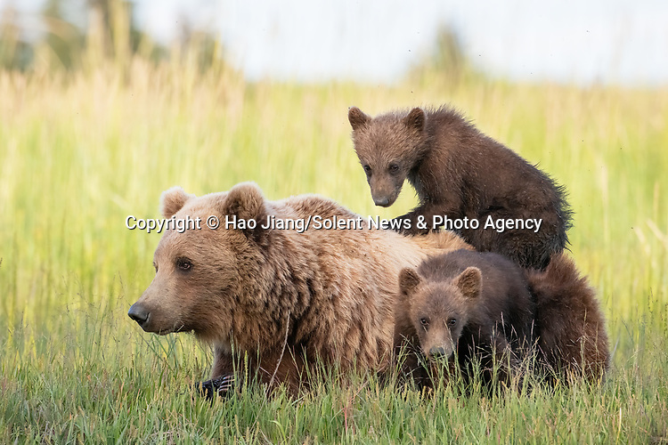 MUM GIVES THE BEST CUDDLES: A pair of young cubs cuddle their mother as she they lie down together.  One brown bear cub latches onto its mother back while their sibling rests next to them.<br /> <br /> Amateur photographer Hao Jiang pictured the mother with her six-month-old cubs at Lake Clark National Park, Alaska, USA.  SEE OUR COPY FOR DETAILS.<br /> <br /> Please byline: Hao Jiang/Solent News<br /> <br /> © Hao Jiang/Solent News & Photo Agency<br /> UK +44 (0) 2380 458800
