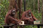 Bornean Orangutans (Pongo pygmaeus wurmbii) - drink milk from the Camp Leakey feeding platform.