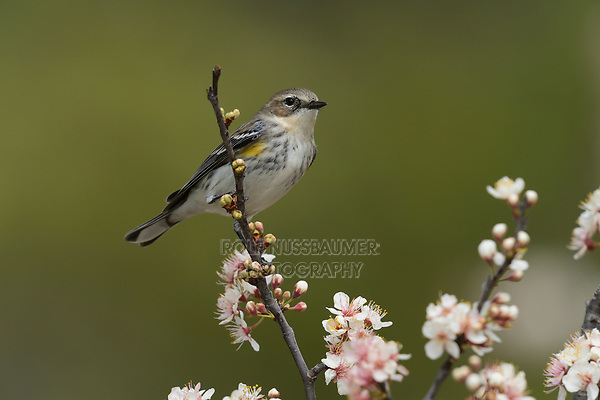 Yellow-rumped Warbler (Dendroica coronata), adult perched in blooming Mexican Plum  (Prunus mexicana), Hill Country, Central Texas, USA
