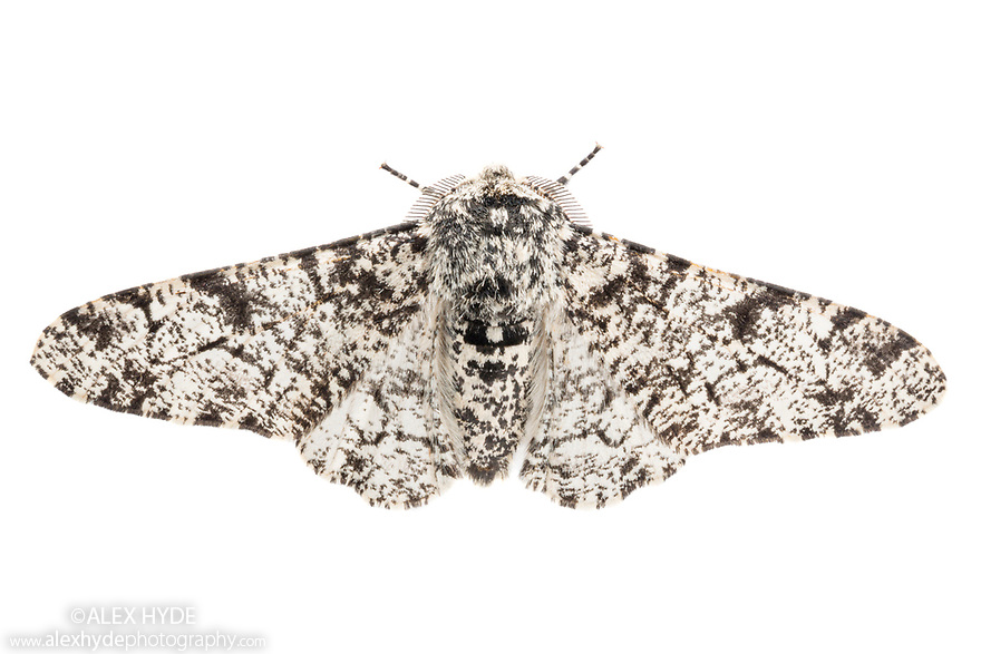 Peppered Moth {Biston betularia} typical form on a white background. Derbyshire, UK.