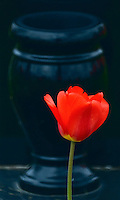 A red tulip flower is contrasted against black marble headstone  in an Ohio cemetery.<br />
