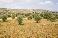 Morocco. Countryside in the Rif Region, Northern Morocco.  Olive Trees.